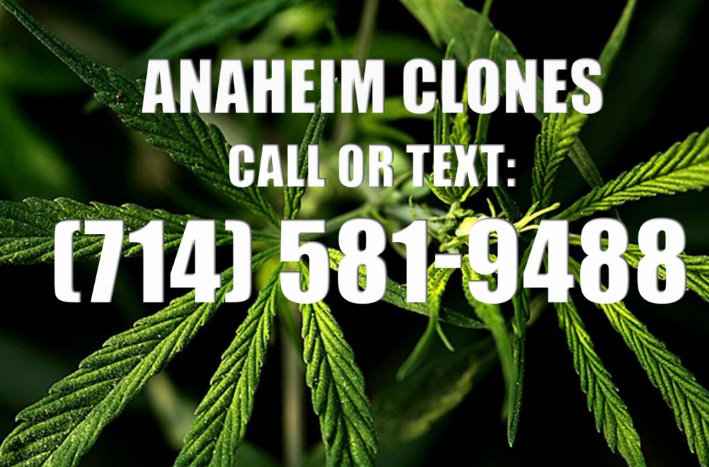 Anaheim-Clones-for-Sale
