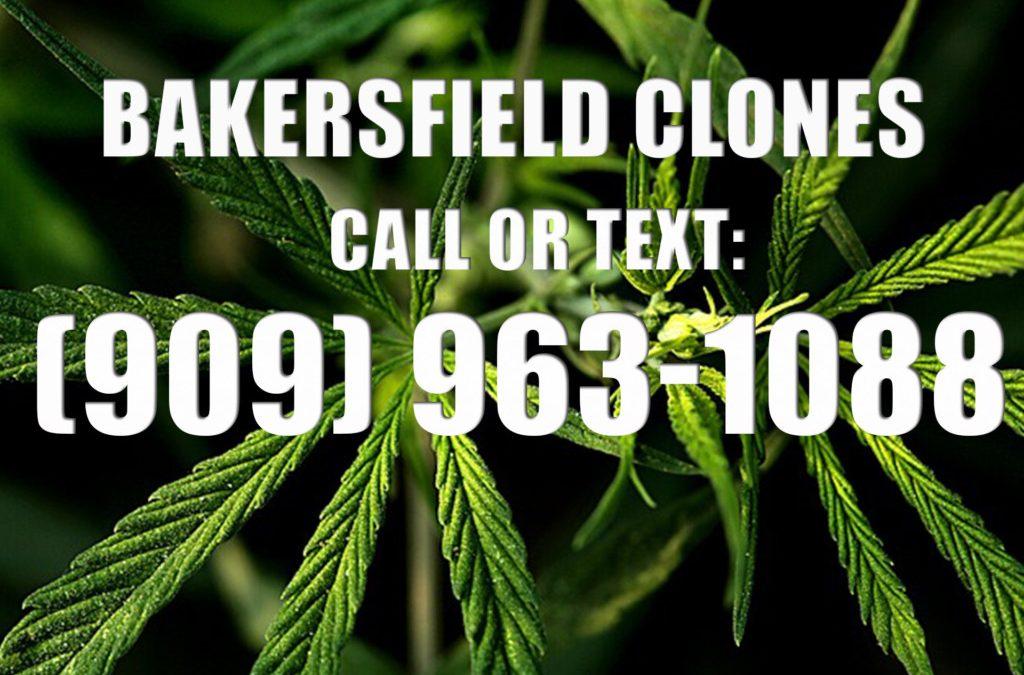 Bakersfield-Clones-for-Sale