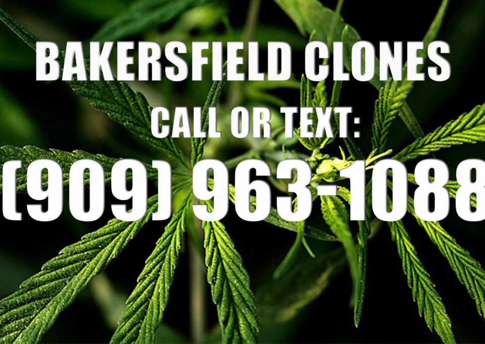 Bakersfield-Clones-for-Sale