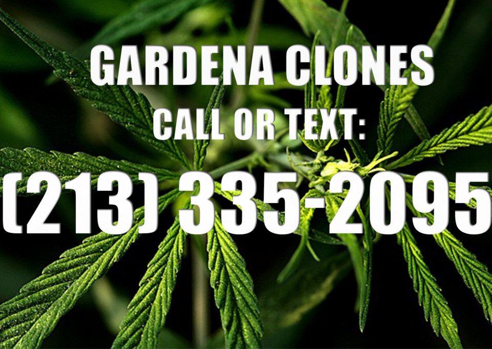 Gardena-Clones-for-Sale