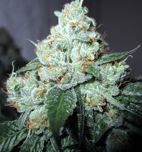 King Louis XIII Strain Clone for Sale