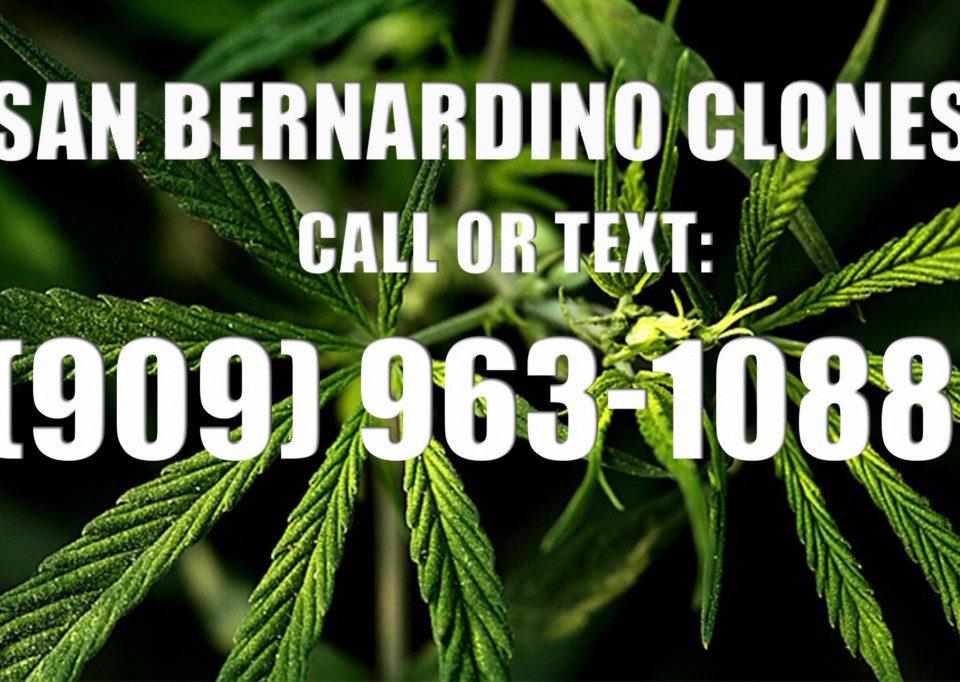 San-Bernardino-Clones-for-Sale