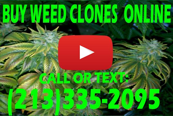 Buy Weed Clones Online