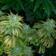 Buy-Weed-Clones-Online