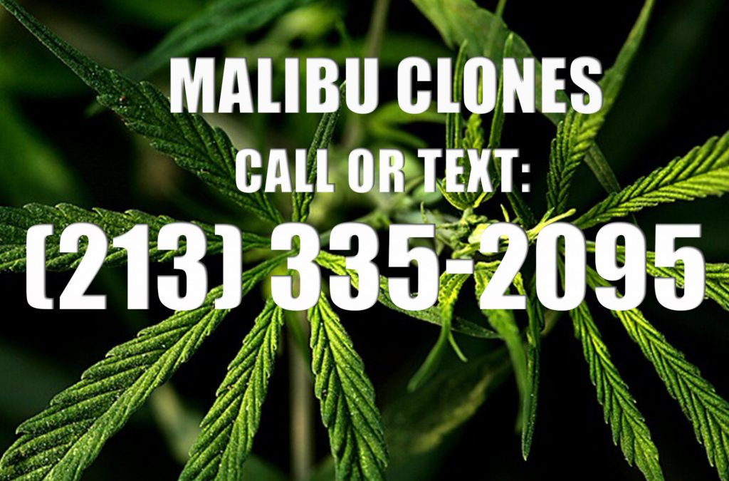 Malibu-Clones-for-Sale