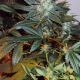 Factors-to-Consider-Before-Flowering-Marijuana-Plants