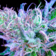 Getting-your-Hands-on-Rare-Marijuana-Strains