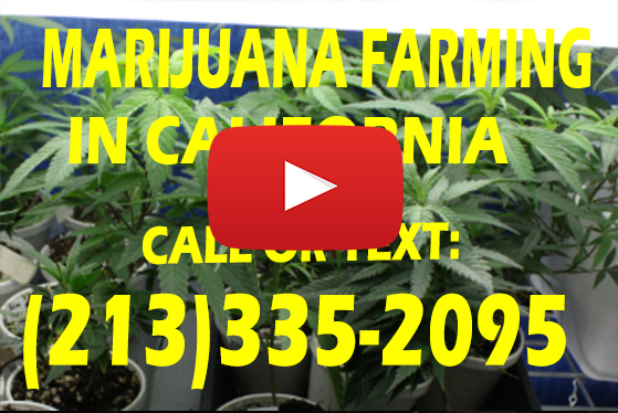 Marijuana Farming in California