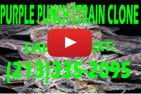 Purple Punch Strain Clones