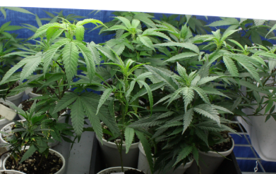 12 Effective Tips For Growing Marijuana Clones
