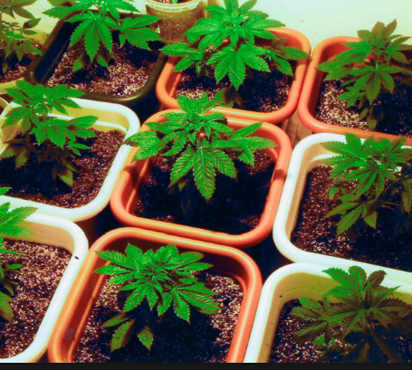 Top rules for cloning marijuana successfully