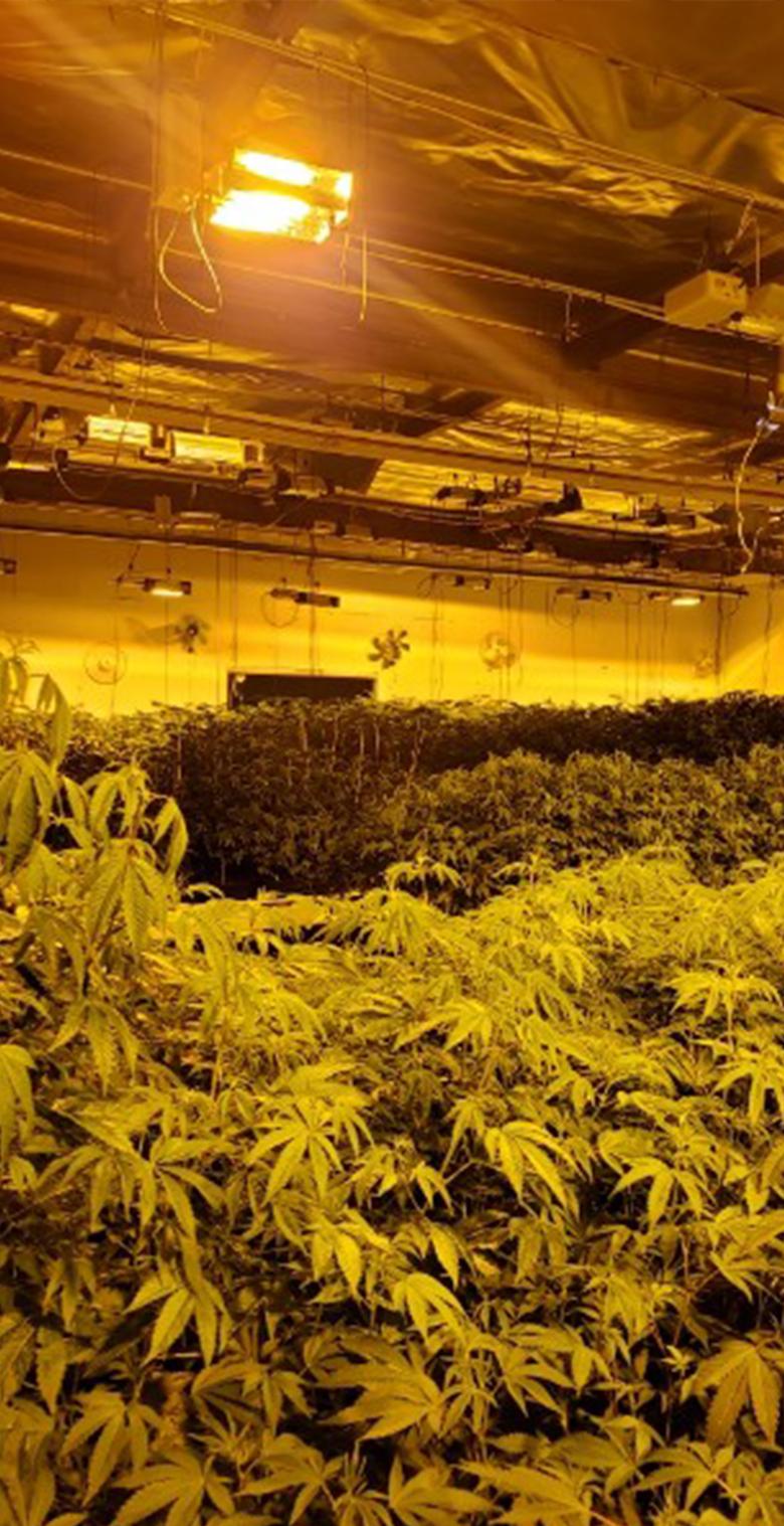 best weed clones online