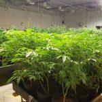 buy marijuana clones online