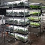 marijuana clones for sale