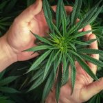 How To Care For Weed Clones