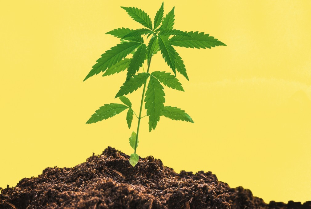 How To Grow Weed Clones