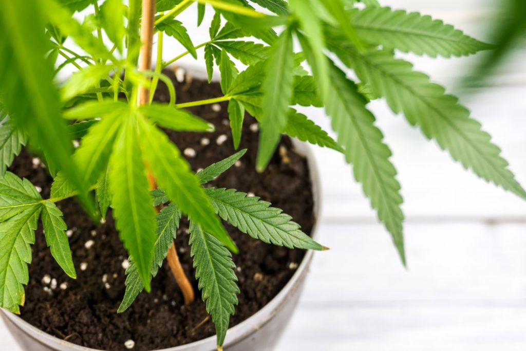 How To Raise Weed Clones