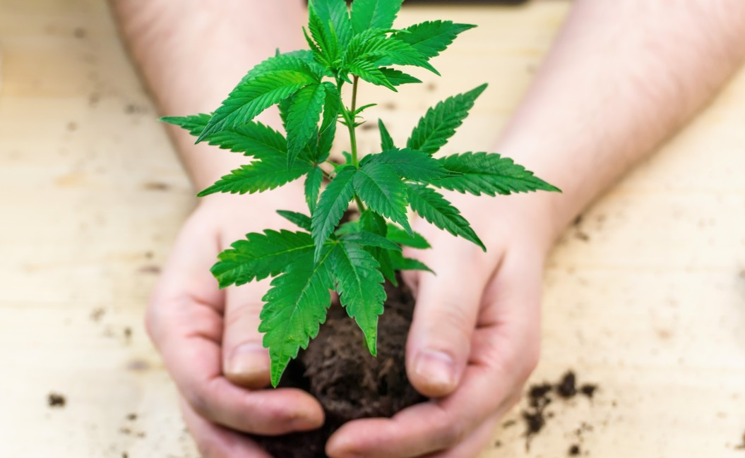 Do Cloned Weed Plants Have As Much THC