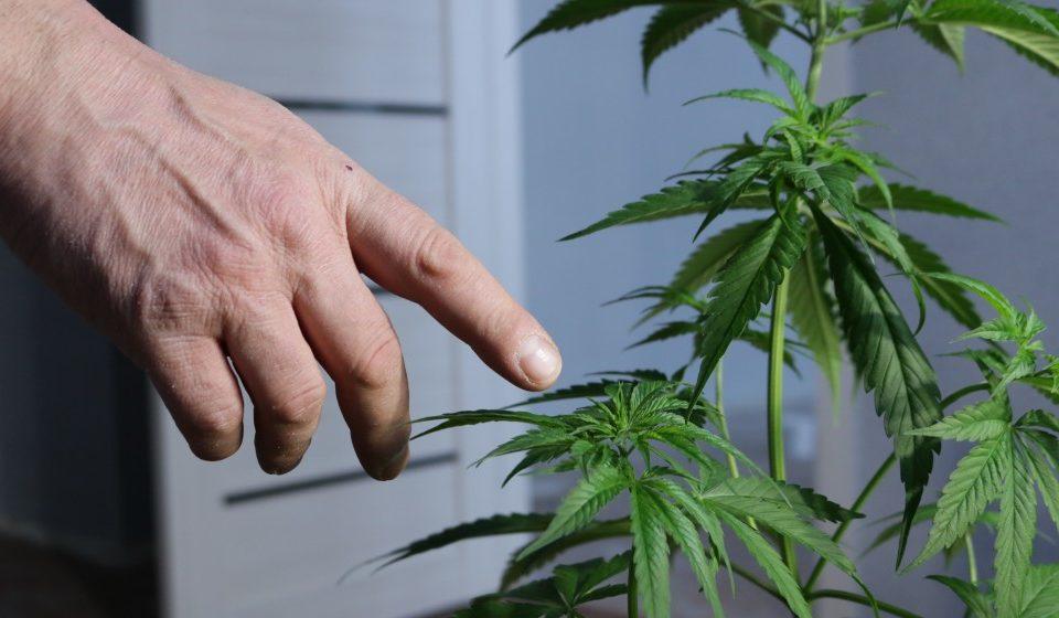 How To Determine the Sex of a Marijuana Plant