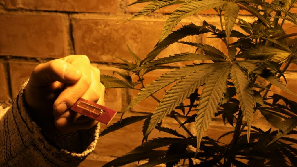 How To Propagate Your Cannabis Plant